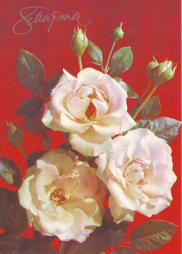 Открытка к 8 марта с белыми розами