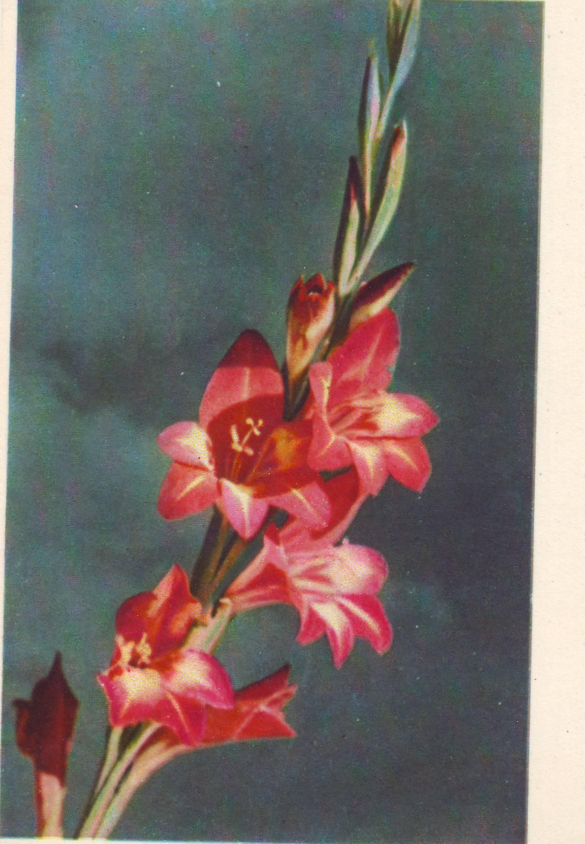 Открытки с цветами гладиолусами 764