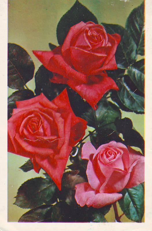 открытки с розами ссср сметанному соусу