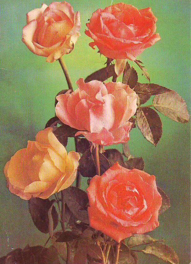 тяжело советские картинки с розами этом обязательно