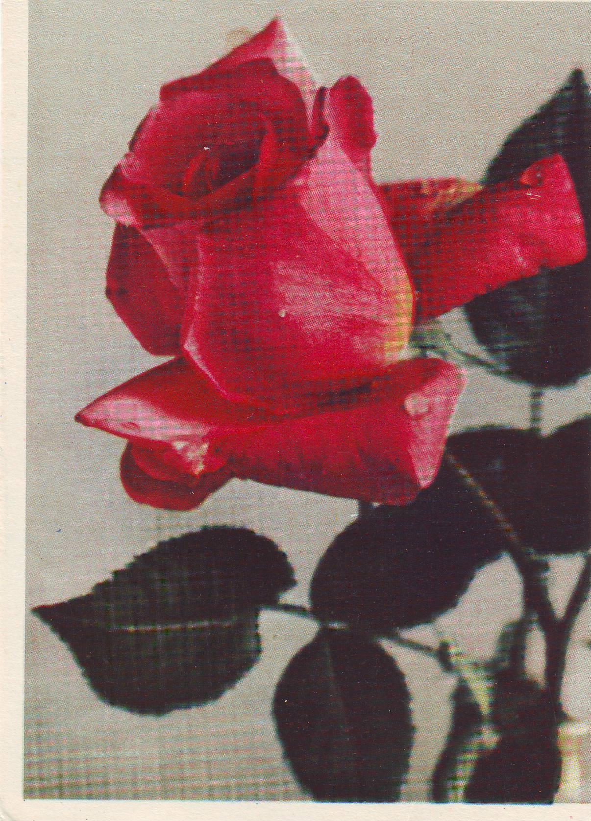 что открытки с розами ссср дешевые шторы оренбурге