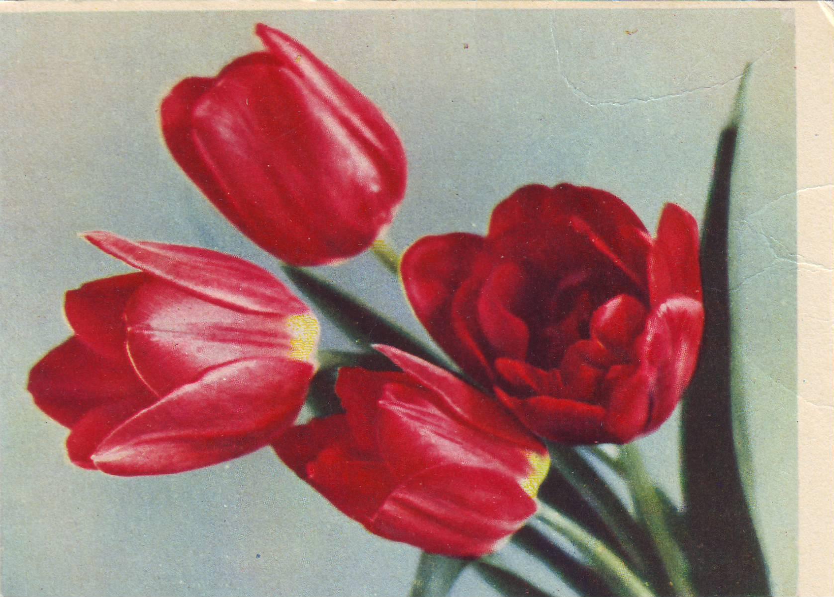Советские открытки тюльпаны